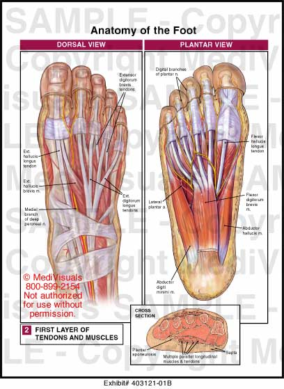 anatomy of the foot-what is special about it? – all the best shoe, Human body